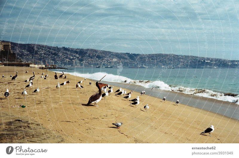 Pelikane in Valparaiso Chile südamerika pelikane strand wasser ozean atlantik pazifik blau grün valparaiso stadt meer vina del mar geschichte unesco