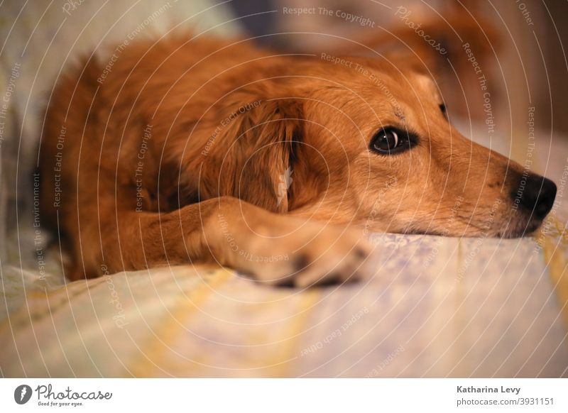 Couchpotato Hund Hundeblick Sofa Tier Tierschutz Fell braun liegen entspannen Schnauze Couch-Potato