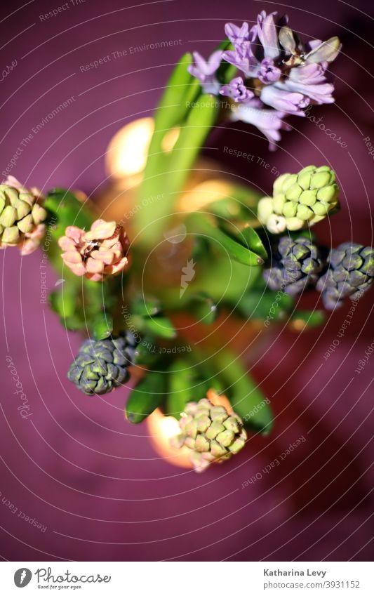 Hyazinthen Blumen Blumenstrauß Tisch lila rosa Pflanze Blätter Blütenblatt Teelicht Gegenlicht