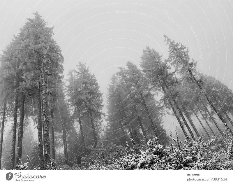 Tannen im Nebel erste Schnee grau düster Froschperspektive Schwarzweißfoto hoch geisterhaft Außenaufnahme Winter Baum kalt Natur Menschenleer Wald Landschaft