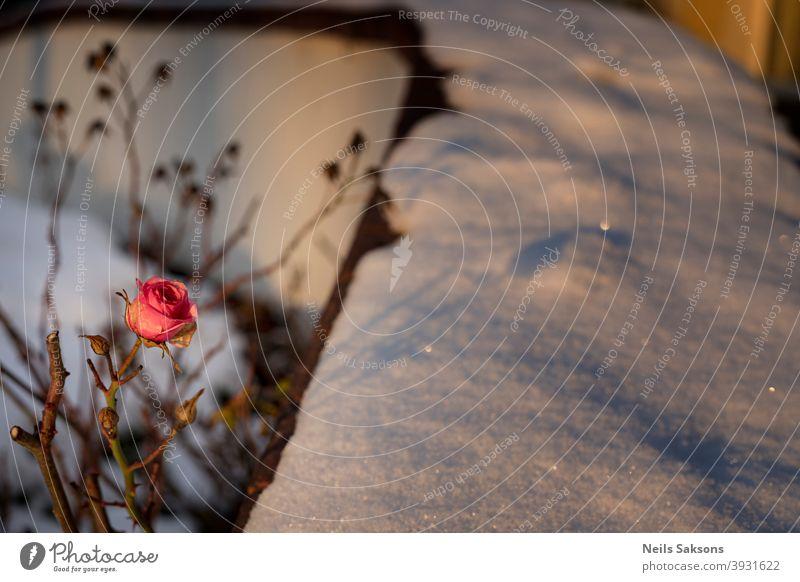 Rose, Schatten, Schnee in goldenen Winter Sonnenuntergang Licht Alterungsprozess Herbst Hintergrund Holzplatte Weihnachten Nahaufnahme kalt Konzept Textfreiraum