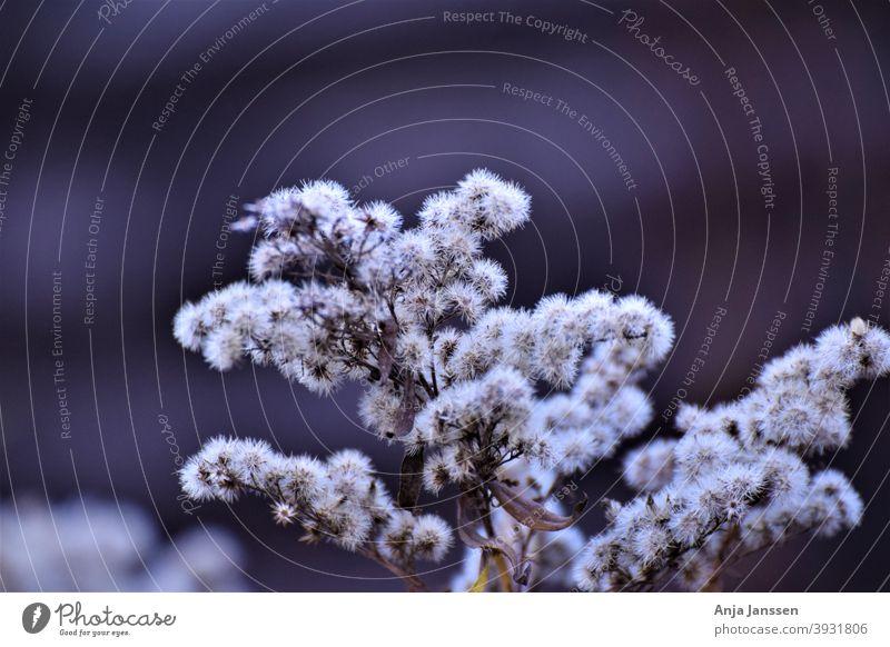Verwelkter Strauch vor grau-blauem, unscharfem Hintergrund Zinnoberstrauch verblüht verschwommener Hintergrund weißbraun abschließen Nahaufnahme Pflanze Blume