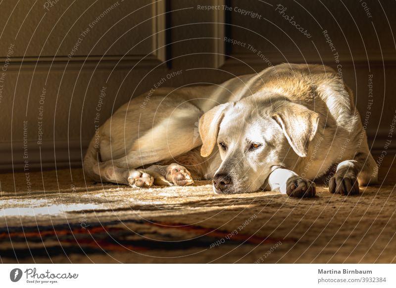 Porträt eines blonden weiblichen Labrador Retrievers im Haus, der auf einem Teppich liegt im Innenbereich heimwärts Welpe Säugetier Reinrassig Hund Tier Eckzahn