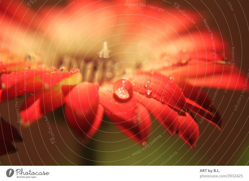 Regentropfen auf einer Gerbera Blüte regen wasser gerbera blume drops makro nahaufnahme rot garten wetter natur blumig blüte unscharf