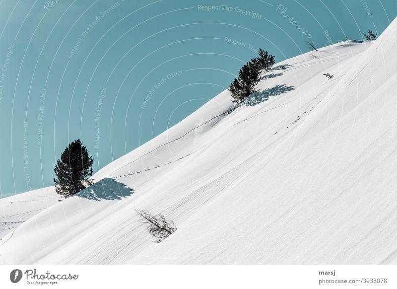 Eine kleine Lärche, die aus der Reihe tanzt und schief in einem verschneiten Schneehang stolz ihre Frau steht. Schneefeld Winterzauber Schneelandschaft