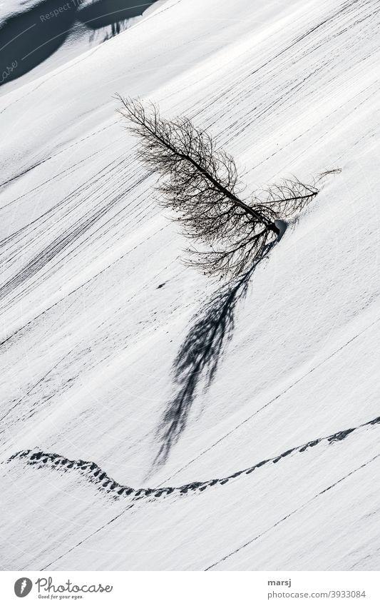 Nicht alle sind so, wie sie sollen. Manchmal hilft es, aus der Reihe zu tanzen. Schneefeld mit Spur und schiefer Lärche. Spuren im Schnee Winterzauber