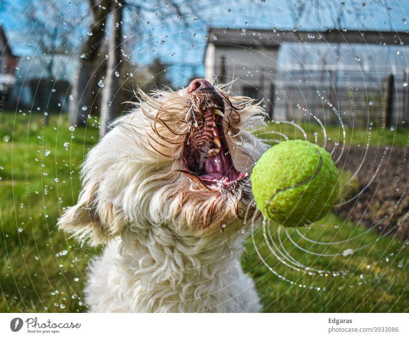 Hund fängt nassen Ball mit offenem Maul Hund spielend Hund fangen Hundeball Offener Mund Tennisball Wasser Hundeerziehung Tier Haustier lustig im Freien