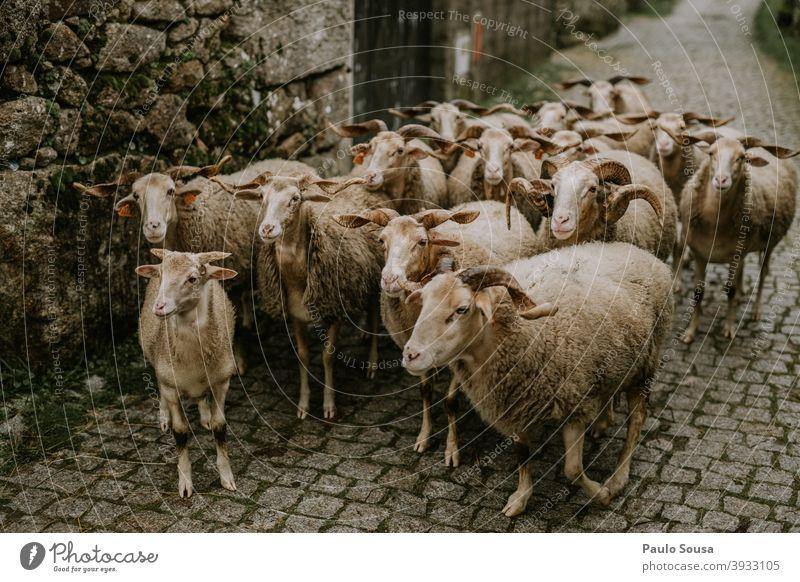 Gruppe von Schafen Herde Nutztier Wiese Tiergruppe Außenaufnahme Schwarm Farbfoto Landschaft Menschenleer Gras Tag Wolle Ackerbau Schafswolle Umwelt Natur