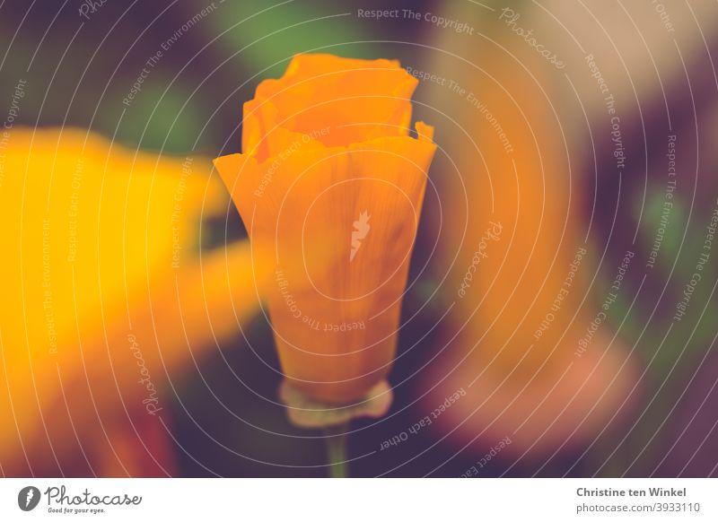 Goldmohn / kalifornischer Mohn / Schlafmützchen / Eschscholzia californica kalifornischer Kappenmohn Blume Natur orange Blütenknospe blühend Sommer Mohnblüte