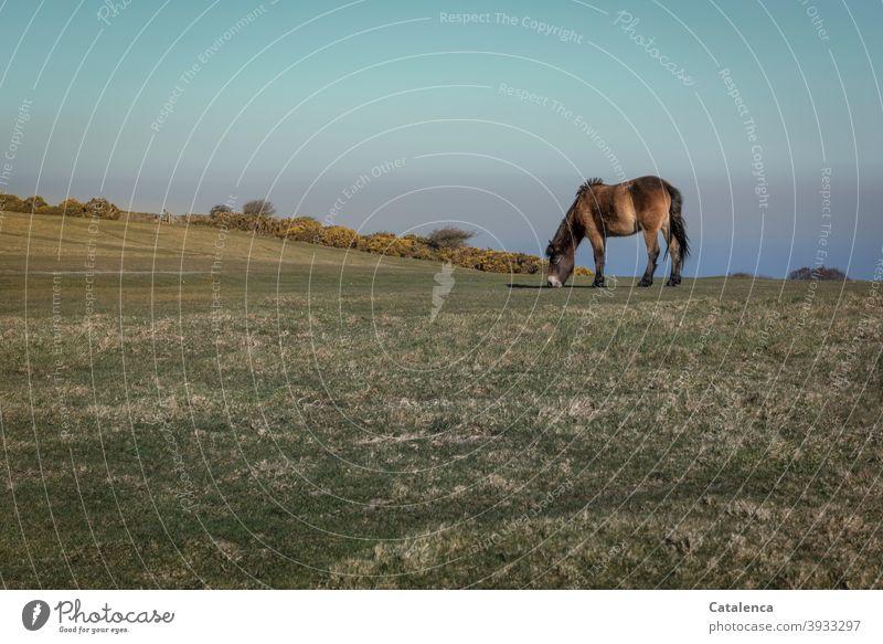 Das Dartmoor Pony grast ungestört auf der Klippe, im Hintergrund blühender  Ginster, das Meer und der Himmel Horizont Natur Tageslicht Landschaft kalt Gras