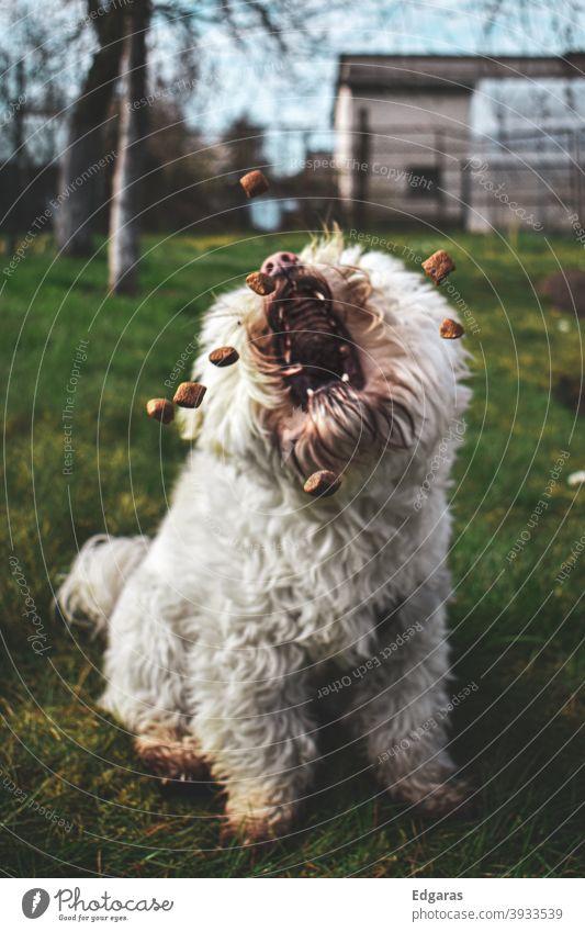 Ein Hund, der mit offenem Maul Nahrung aufnimmt Hundefutter Hund fangen Hund frisst Essen offener Mund fangend weiß