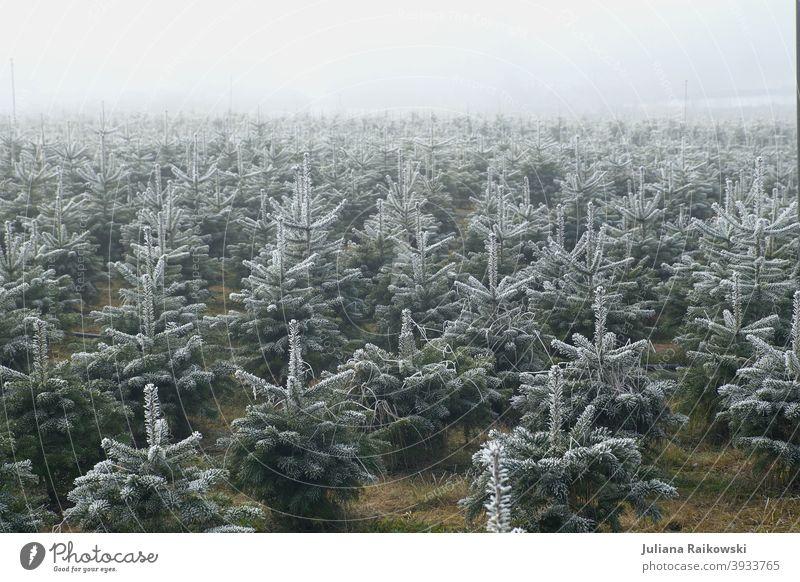 Weihnachtsbaum Plantage im Nebel Tannenbaum Weihnachten & Advent Christbaum Weihnachtsdekoration Winter Tradition Baum Tannenzweig Frost Menschenleer Stimmung