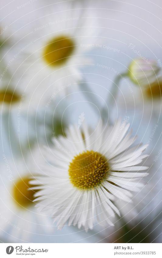 Berufskraut, unbekanntes Heilkraut, Erigeron annuus, weiß, gelb, oft im Garten als Unkraut bestimmt heilkraut unkraut berufskraut pflanze garten harntreibend
