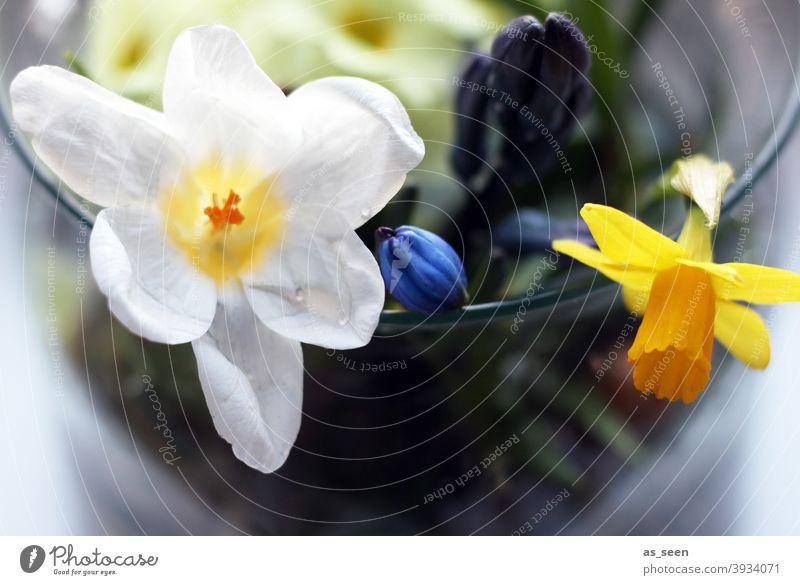 Frühlingsboten Osterglocke Narzisse Krokusse Blüte Blume Pflanze Natur Farbfoto gelb Gelbe Narzisse Blühend Menschenleer Makroaufnahme Schwache Tiefenschärfe
