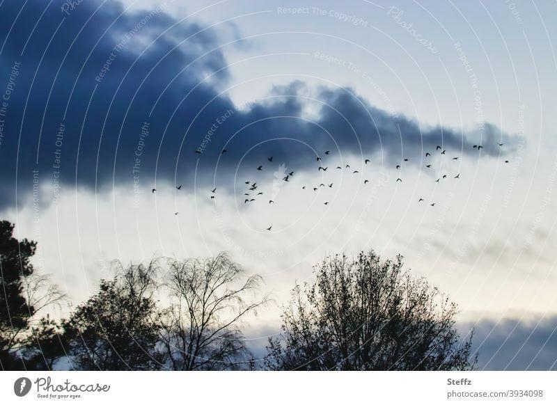 noch einmal über den Bäumen kreisen bevor es dunkel wird Vögel Vogelschwarm melancholisch Vogelflug Vogelschar Schwarm fliegende Vögel poetisch Vogelbeobachtung