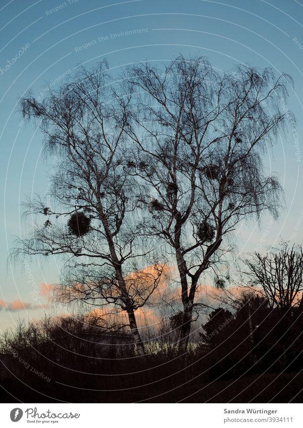 Kahle Baumkrone mit Misteln in winterlicher Dämmerung Himmel Natur blau kahl Landschaft Winter kalt Außenaufnahme Menschenleer Ast Farbfoto Umwelt Tag Pflanze