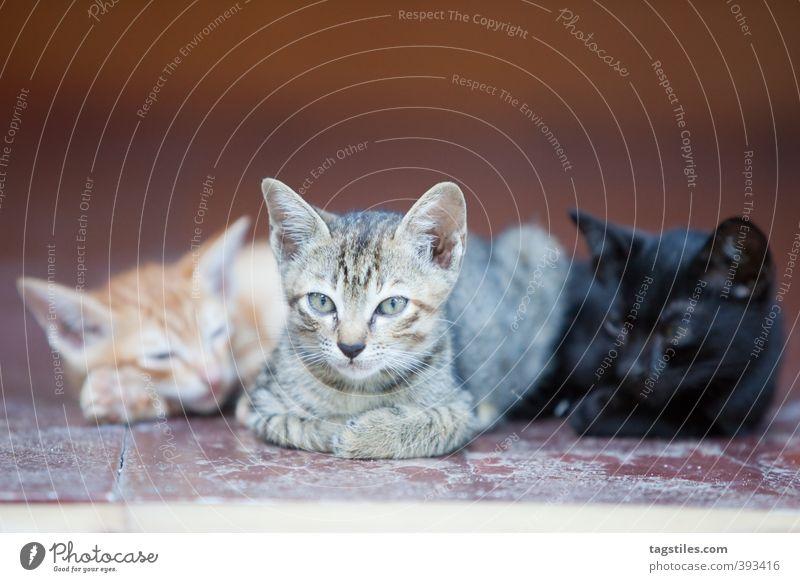 STRASSEN-GANG Katze Pussy pussy-cat Gang 3 Säugetier grau orange schwarz Katzenbaby Tierfamilie Geschwister Erholung Pause ausruhend Hauskatze Farbfoto