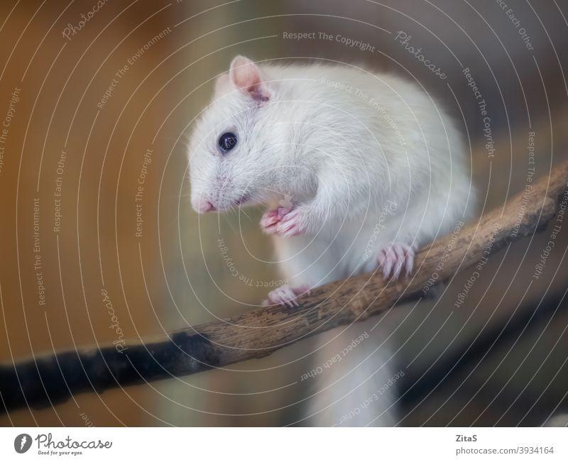 Nettes weißes Albino-Eichhörnchen sitzt auf einem Ast niedlich Fell pelzig Tier wild Haustier Tierwelt Säugetier Nagetiere Natur Holz Sitzen