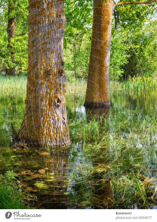 Impression aus dem Salburua-Feuchtgebiet - Pappeln im Sumpf. Grüngürtel von Vitoria-Gasteiz, Baskenland, Spanien Salburúa Baumstamm Bäume Menschenleer grün