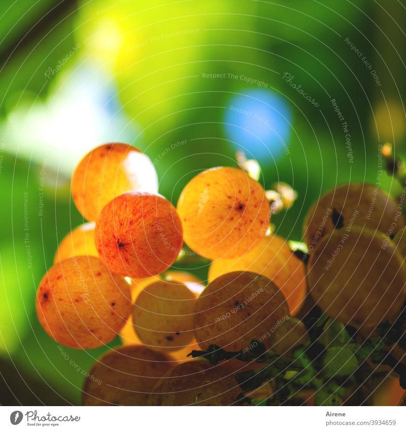 es wird Wein sein Weintrauben Herbst leuchtend rot saftig golden Trauben reif kräftig Sonnenlicht Weinberg orange Rotwein Weißwein Roséwein Weinstock Weinbeeren