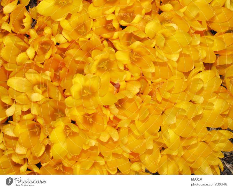 Krokusse gelb Blüte Frühling Knollengewächse Pflanze