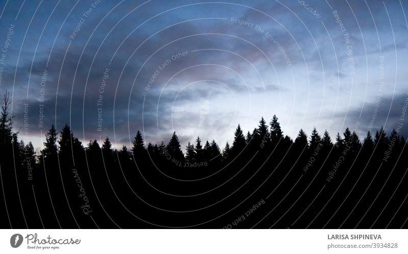 Schwarze Silhouette von Nadelwald auf blauem Hintergrund der Morgendämmerung Himmel mit Zirruswolken. Tops der Bäume über dem Horizont. Natürliche Landschaft mit bunten Sonnenuntergang.