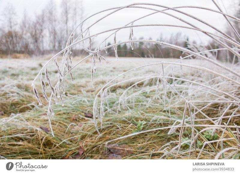 Gefrorenes üppiges grünes Gras mit Eiskristallen auf natürlichem unscharfem Hintergrund. Natürliche Landschaft im Winter. Nebel mit zartem Bokeh. Nahaufnahme, Kopie Raum