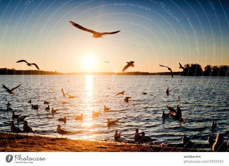 Vögel am Tegeler See mit Sonnenuntergang berlin fliegen gans gewässer havel kanadagans möwe schwan see spatz tegel tegeler hafen tegeler see ufer umland vogel