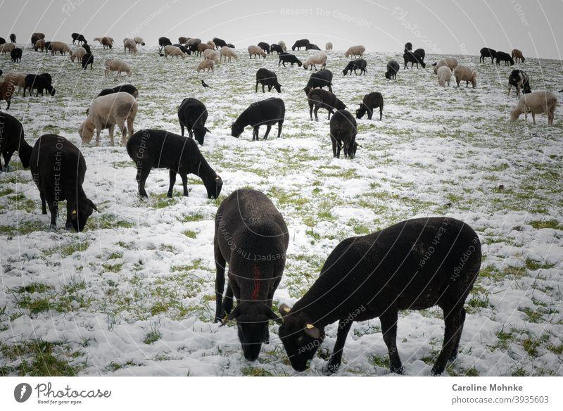 Schwarze und weisse Schafe im Winter. Besuch eines Rabens. Nutztier Natur Außenaufnahme Landschaft Schafherde Tiergruppe Herde Farbfoto Wiese Menschenleer Tag