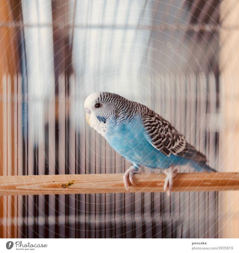 ungesund | hinter gittern Vogel Wellensittich Vogelkäfig eingesperrt gefangen Gitterstäbe Käfig Käfighaltung Haustier Tier Innenaufnahme Tierporträt