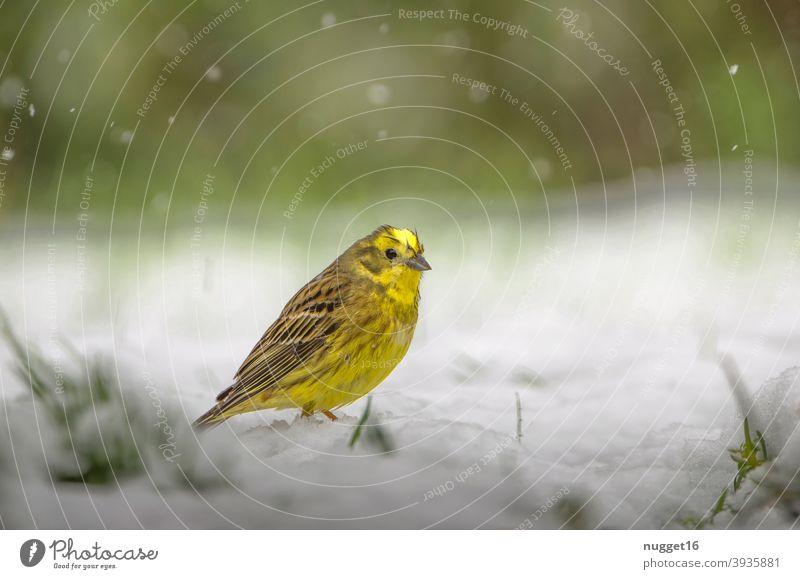 Goldammer im Schnee Natur Tier Außenaufnahme Farbfoto 1 Wildtier Tierporträt Umwelt natürlich Tag Menschenleer Schwache Tiefenschärfe Ganzkörperaufnahme grau