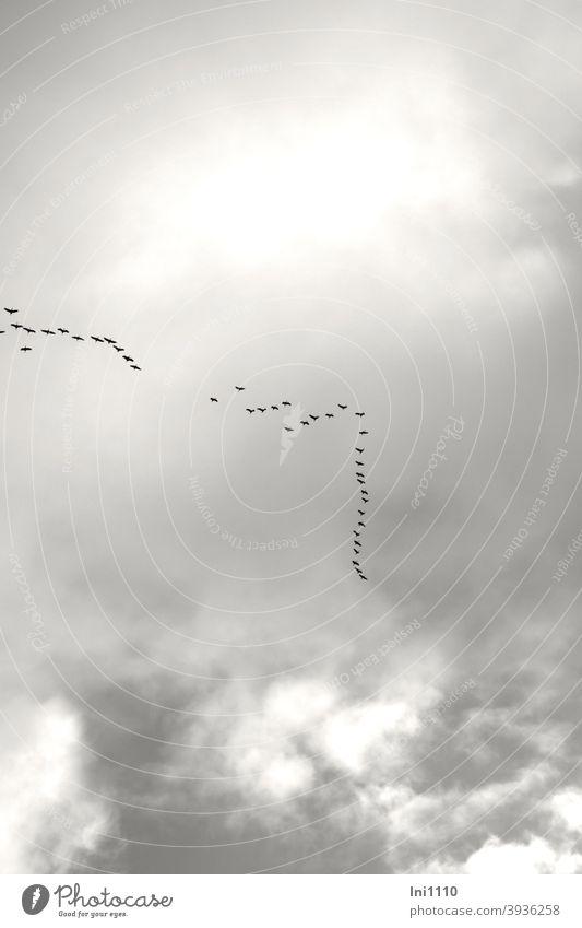 fliegende Kraniche am grauen Himmel Kraniche am Himmel Vogel Zugvogel Formation grauer Himmel Wolken Reise in den Süden spät Dezember Instinkt Fazination