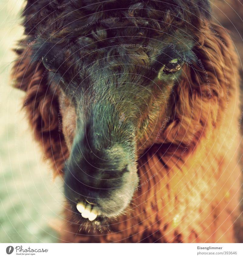 Visualisierung des Montagmorgens Tier Auge lustig Kopf Neigung Fell Gebiss skurril Schnauze Lama