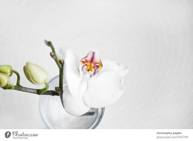 Blütezeit Pflanze Orchidee Blatt Topfpflanze exotisch Blühend ästhetisch frisch schön weich Blütenknospen Farbfoto Innenaufnahme Nahaufnahme Detailaufnahme