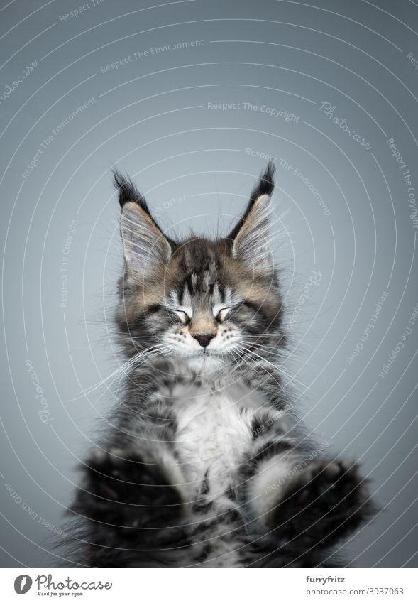 niedlich maine coon Kätzchen stehend auf Glastisch Augen geschlossen Katze Rassekatze Haustiere maine coon katze Katzenbaby Fell fluffig katzenhaft bezaubernd