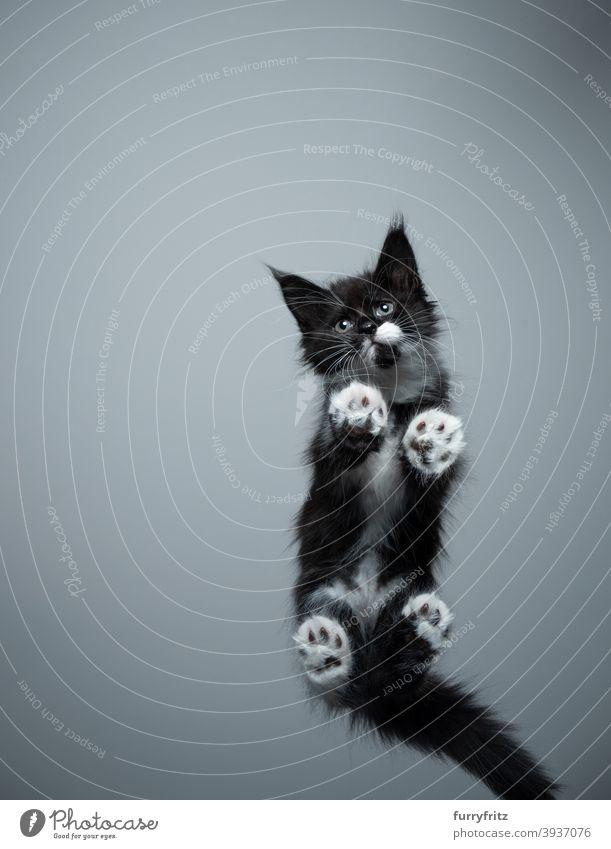 Süße Maine Coon Kätzchen Untersicht stehend auf Glastisch Katze Rassekatze Haustiere maine coon katze Katzenbaby Fell fluffig katzenhaft niedlich bezaubernd