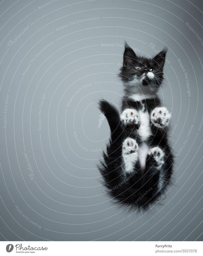 niedliche Maine Coon Kätzchen Untersicht sitzt auf Glastisch Katze Rassekatze Haustiere maine coon katze Katzenbaby Fell fluffig katzenhaft bezaubernd schön