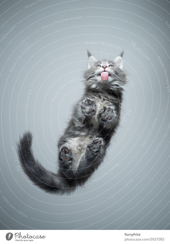 Unteransicht des niedlichen Kätzchens leckt Glastisch Katze Rassekatze Haustiere maine coon katze Katzenbaby Fell fluffig katzenhaft bezaubernd schön Ein Tier