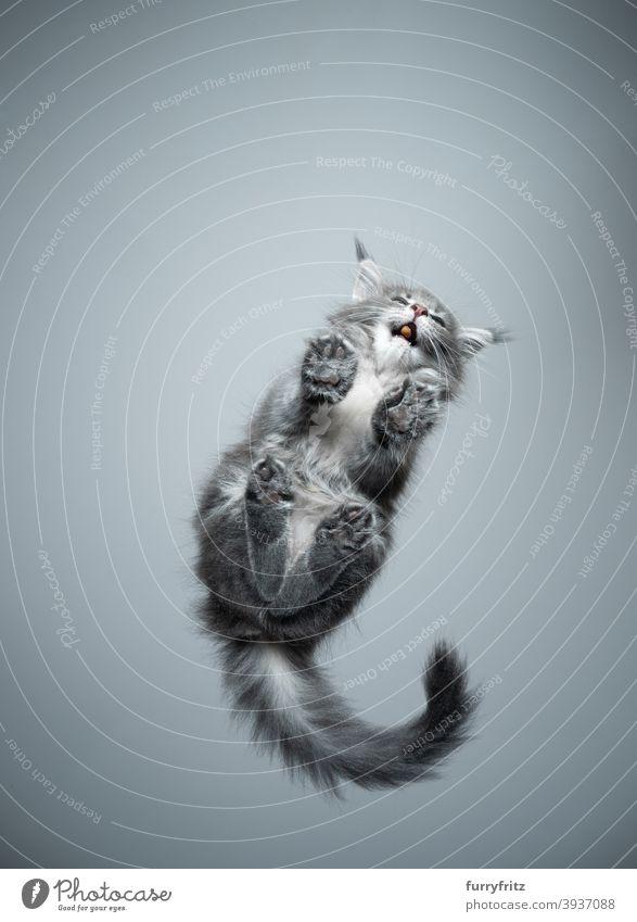 Ansicht von unten Maine Coon Kätzchen essen Snack Katze Rassekatze Haustiere maine coon katze Katzenbaby Fell fluffig katzenhaft niedlich bezaubernd schön
