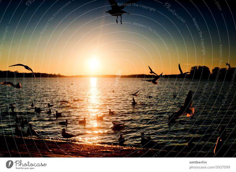 Sonnenuntergang mit Vögeln am Tegeler See berlin fliegen gans gewässer havel kanadagans möwe schwan see spatz tegel tegeler hafen tegeler see ufer umland vogel