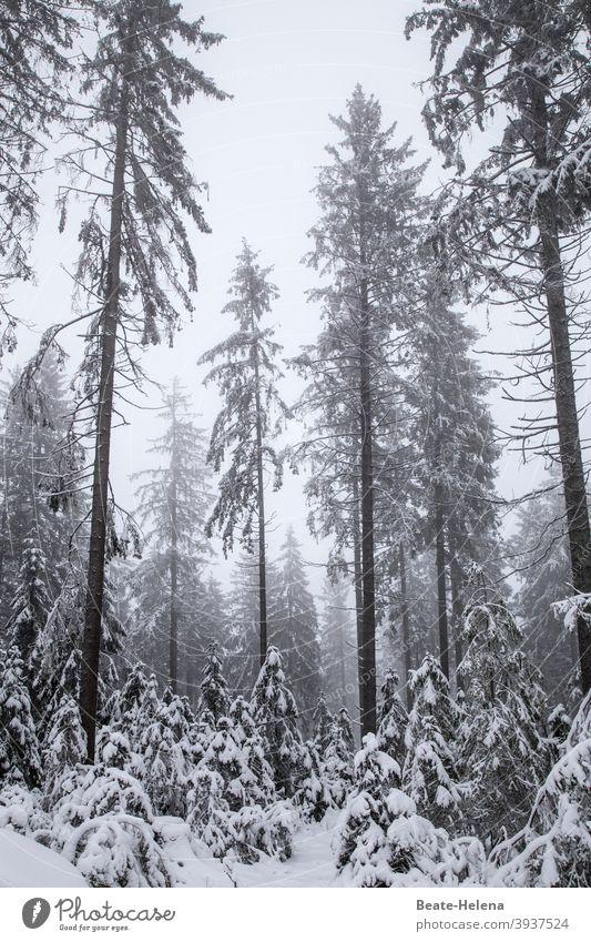 TT: traurige Tannen Winter Wald Schwarzwald Schnee Grau trist Tristesse Natur weiß kalt Landschaft Außenaufnahme Baum schlechtes Wetter Menschenleer Frost