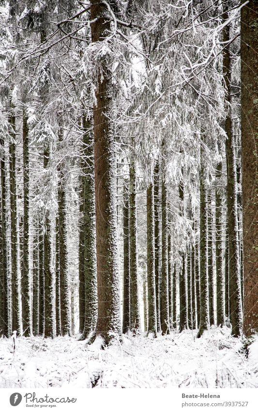 Geordnete Natur: parallel ausgerichtete Bäume im Schnee Ordnung senkrecht Winter Wald Schwarzwald Weißwald Landschaft Außenaufnahme Menschenleer schwarz-weiss