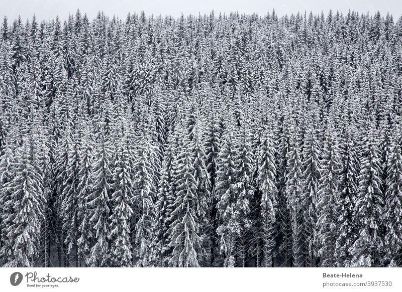 Winterlandschaft Schwarzwald Tannenwald Wald schwarz-weiß Schnee Menschenleer Landschaft Pflanze Natur Baum Frost Schwarzweißfoto kalt Wetter Außenaufnahme