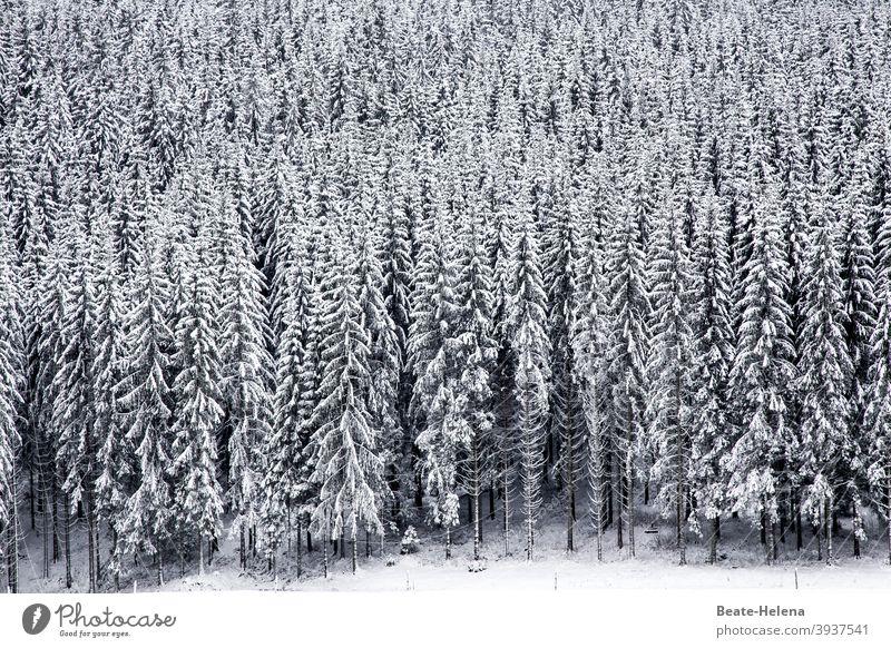 Im Schwarzweißwald: schneebedeckte Tannenbäume im Schwarzwald Wald Schnee Tannenbaum Winter Eis Schneelandschaft Natur Baum kalt Landschaft Außenaufnahme