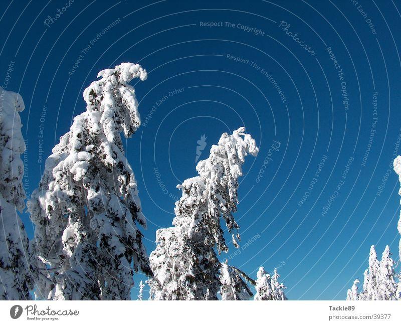 Tanne unter Schnee Baum Winter Berge u. Gebirge Schneelandschaft Harz