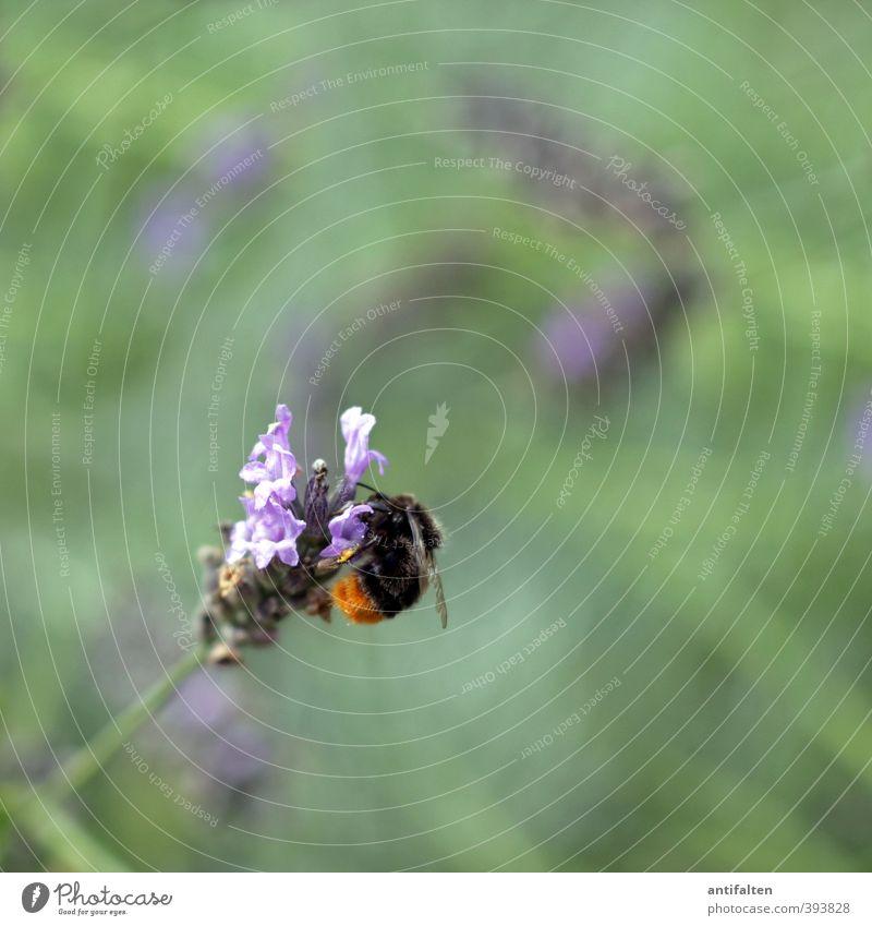 Feinster Nektar Natur grün schön Sommer Pflanze Blume Tier Blatt Wiese Gras Frühling Blüte natürlich Garten fliegen Schönes Wetter