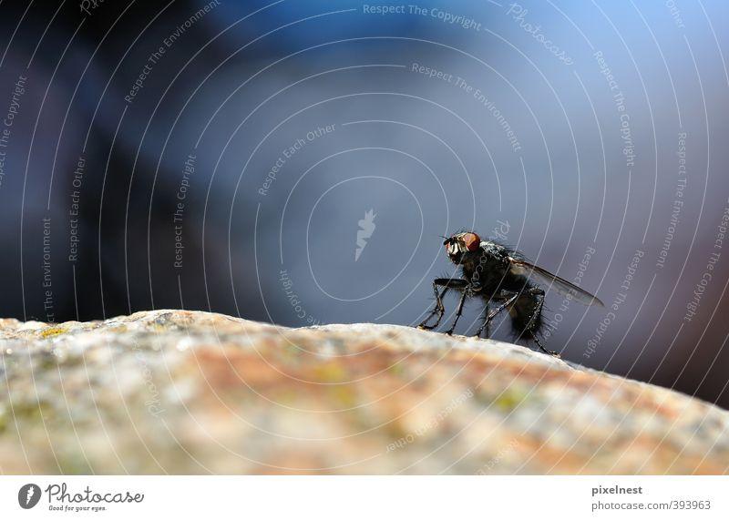 Ready for takeoff Natur blau ruhig Tier Umwelt Auge klein Stein Felsen Beine Behaarung dreckig sitzen Fliege warten stehen