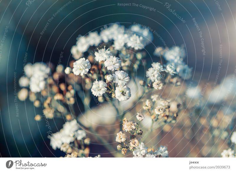 Zierliche Schleierkraut-Blüten, teilweise verblüht, schwache Schärfentiefe Pflanze weiß Farbfoto Natur Dekoration & Verzierung Nahaufnahme Blume Tag Romantik