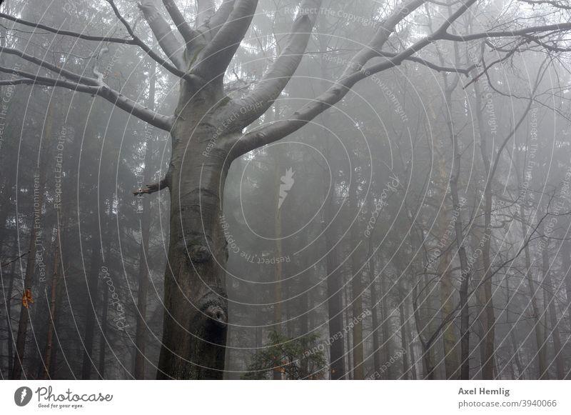 Im nebligen Wald steht ein Baum mit Gesicht. Nebel Erlkönig Buche Herbst Winter Waldspaziergang Angst unheimlich unheimliche Atmosphäre Baumgesicht Baumaugen