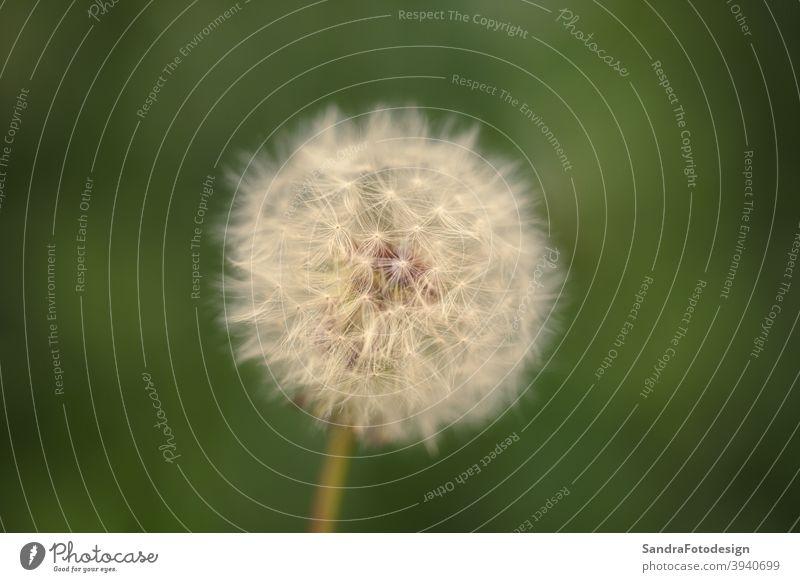 Nahaufnahme einer Pusteblume mit einem weichen Hintergrund Überstrahlung Schlag Löwenzahn Umwelt fein Blume Gras grün natürlich Natur im Freien Pflanze